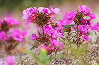 Mimulus bigelovii var. bigelovii, Bigelow's monkeyflower, flowering wildflower, California native plant in Sonoran Desert at Anza Borrego California State Park