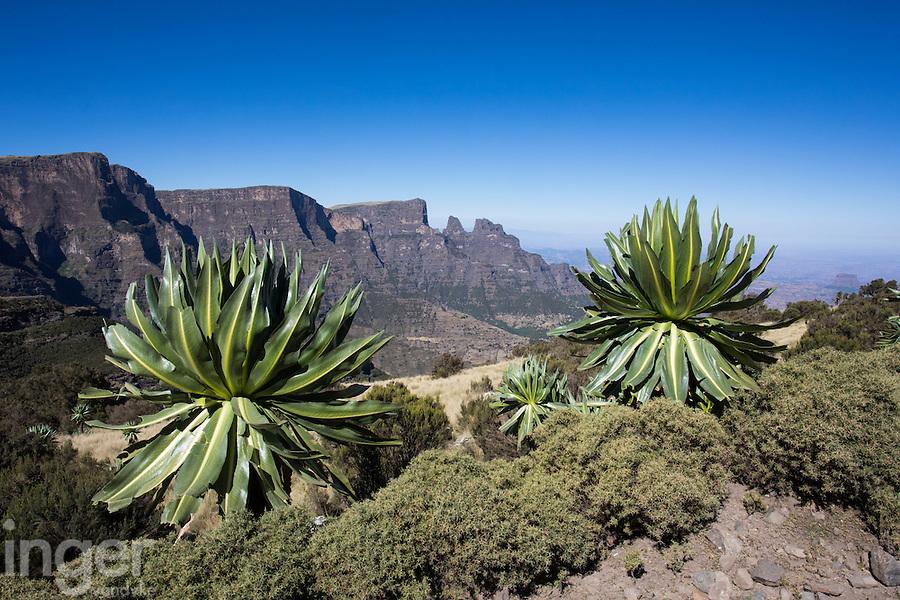 Mountain lobelias near Chenek in the Simien Mountains of Ethiopia