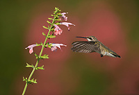 Ruby-throated Hummingbird (Archilochus colubris), female feeding on Pink sage (Salvia sp.), Hill Country, Central Texas, USA