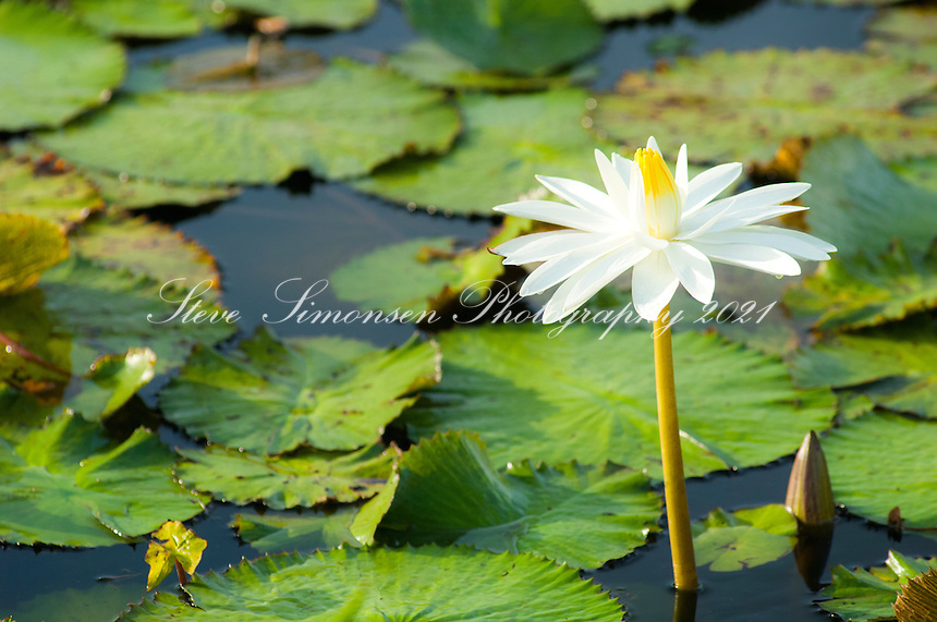 Lilly pad and flower in pond<br /> St. Croix<br /> US Virgin Islands