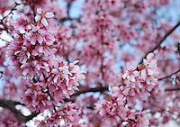 Stock photo - beautiful pink cherry blossom branches blooming on tree seen from below.