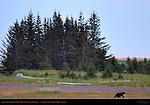 Bear in Sedge Grass at Midnight, Silver Salmon Creek, Lake Clark National Park, Alaska