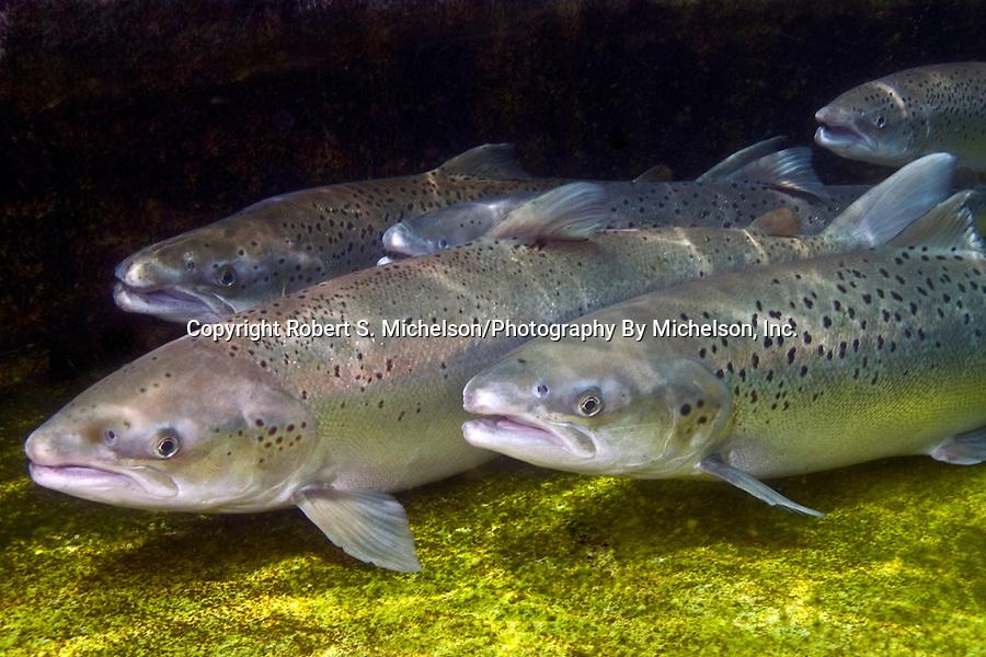 Sea-run Atlantic salmon at base of dam, 3 shot