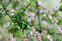 Tennessee Warbler (Leiothlypis peregrina) looking for insects among crab apple blossoms.  Great Lakes Region.  May.