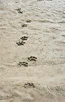 footprints of a jaguar (Panthera onca) on mud flats, Tambopata National Reserve, Madre de Dios, Peru, South America