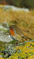 Robin and lichens, Wales, UK.
