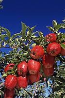 Red Deliicious Apples on tree.  WA