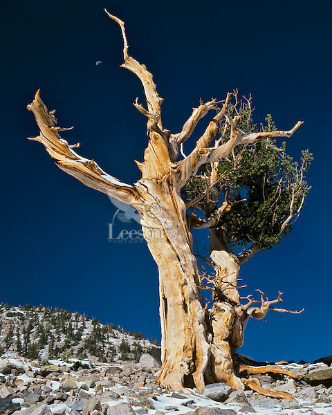 Bristlecone Pine tree grows in the high, harsh elevations of Great Basin National Park, Nevada.