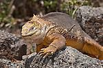 South Plazas Island, Galapagos, Ecuador; a Galapagos Land Iguana (Conolophus subcristatus) walking across the volcanic rocks , Copyright © Matthew Meier, matthewmeierphoto.com All Rights Reserved