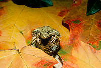 Cricket frog Acris blanchardi or crepitans, balancing on acorn among fall colored leaves
