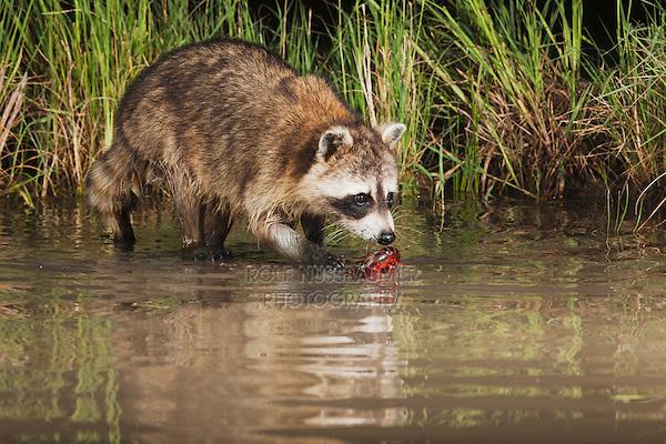 Northern Raccoon (Procyon lotor), adult in water eating Crayfish, Crawfish (Astacidae), Sinton, Corpus Christi, Coastal Bend, Texas, USA