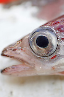 Close up of head of  Blue whiting Micromesistius poutassou Norwegian sea North Atlantic.