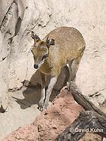 0604-1117  Klipspringer (Rock Jumper Antelope), Small Antelope on Boulders, Oreotragus oreotragus  © David Kuhn/Dwight Kuhn Photography