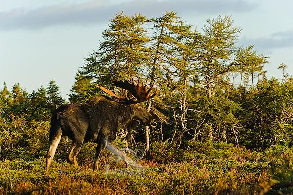 Bull Moose (Alces alces) in black spruce/boreal forest, fall, Cape Breton Highlands National Park, Nova Scotia, Canada.