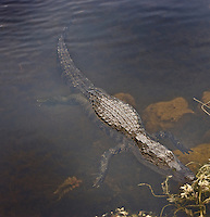 Submerged, floating alligator with entire body visible below the water