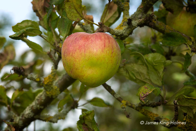 Apples variety Sheeps Nose
