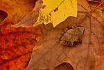 "This spring peeper blends in with the colorful fallen leaves that blanket the ground in a wooded area in Minnesota. Although spring peppers have toe pads that enable them to climb, they seem more comfortable on the forest floor where they make themselves at home among bark, leaves, and logs. The spring peeper's binomial name, crucifer, means ""cross-bearer"" in Latin, a reference to the distinguishing dark ""X"" on its back. The frogs common name comes from its high-pitched call, which sounds like sleigh bells in chorus. Also known as ""pinkletinks"", ""tinkletoes"", and ""pink-winks"", spring peepers are ofthen called simply ""peepers"". Found throughout the Eastern United Sates and Canada, spring peepers are well adapted to wintry climates and can endure internal body temperatures as low as -8C (17.6F)—cold enough to freeze some of the frog's body fluids."