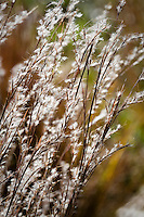 Little Bluestem (Schizachyrium scoparium) silver backlit flowering grass in meadow garden