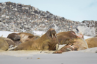 Atlantic walruses, Odobenus rosmarus rosmarus, on the beach, Svalbard, Norway, Europe