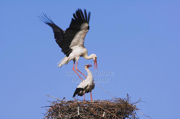 White Stork, Ciconia ciconia, pair on nest mating, Rust, National Park Lake Neusiedl, Burgenland, Austria, Europe