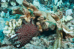 Kona, Big Island of Hawaii, Hawaii; a crown-of-thorns sea star feeding on the last remaining healthy corals of a broken coral colony on the sea floor
