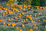 Pumpkins in the field ready for harvest still attached to vine, Concord, Massachusetts
