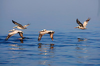 A group of pelicans take flights along the water in Charleston, SC.