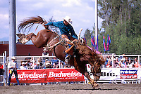 Surrey, BC, British Columbia, Canada - Cloverdale Rodeo, Saddle Bronc Riding, Cowboy Rider on Wild Horse