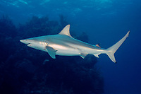blacktip shark, Carcharhinus limbatus, female with mating scars, Bahamas, Caribbean Sea, Atlantic Ocean