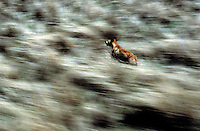 Wild Dingo in full run from the air Flood plains Northern Territory, Australia. - Image from the Book Journey Through Colour and Time
