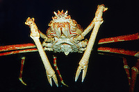 Giant spider crab, Macrocheira kaempferi, can measure up to 26 feet across, and is the world's largest crab.   Japan (c)
