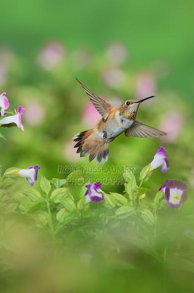 Rufous Hummingbird (Selasphorus rufus), young male on blooming Wishbone flower (Torenia fournieri), Hill Country, Texas, USA