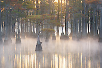 A small pond cypress displayed in beautiful sunrise light, on a misty cold morning in the swampland.