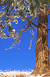 Ponderosa pine tree and snow on a bright sunny day in Montana