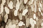 Italy; Lombardia; comunity Tremezzina: district Tremezzo on West Banks of Lake Como - Parco Civico Teresio Olivell - bark of a London planetree (Platanus) | Italien; Lombardei; Gemeinde Tremezzina: Ortsteil Tremezzo am Westufer des Comer Sees - im Parco Civico Teresio Olivelli - Rinde einer Ahornblaettrigen Platane (Platanus)