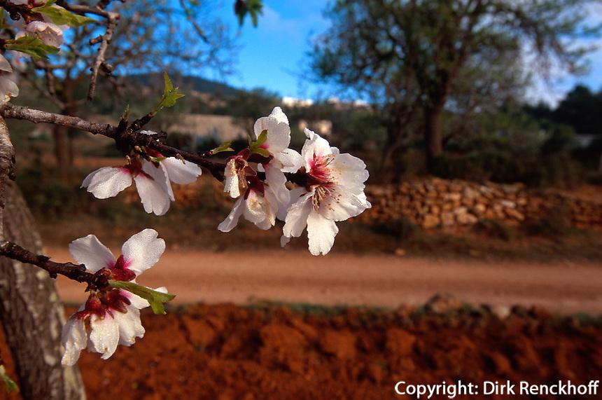 Spanien, Balearen, Ibiza, Mandelblüte in Santa Agnes de Corona
