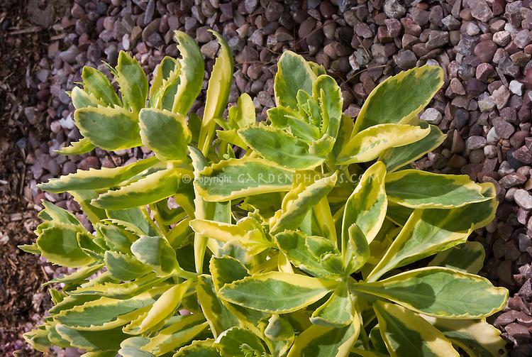 Sedum Autumn Charm variegated foliage leaves