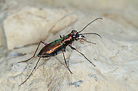 Deutscher Sandlaufkäfer, Cylindera germanica, Cilindella germanica, Cicindela germanica, German tiger beetle, cliff tiger beetle, Sandlaufkäfer, Cicindelinae, tiger beetles