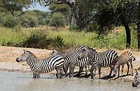 Grant's Zebras, Equus quagga boehmi, wade into a pond in Tarangire National Park, Tanzania