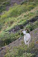 Dall sheep ram feeds on willows in Polychrome Pass, Denali National Park, Interior, Alaska.
