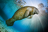 Endangered Florida Manatee, Trichechus manatus latirostris, at Three Sisters Spring in Crystal River, Florida, USA. The Florida Manatee is a subspecies of the West Indian Manatee.