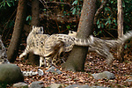 Snow leopard cubs at play, Asia