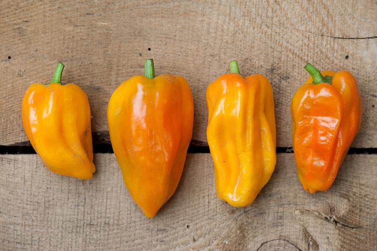 Yellow sweet Pepper 'Mohawk', mid October.