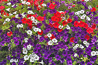 Close up of Petunia baskets at Oregon Garden. Oregon