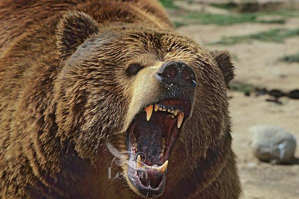 Grizzly bear (Ursus arctos).