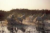 Europe/France/Provence-Alpes-Côte d'Azur/13/Bouches-du-Rhône/Camargue: Gardians et chevaux dans les marais