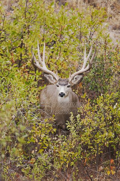 Mule Deer, Black-tailed Deer (Odocoileus hemionus), buck,Dead Horse Point State Park, Utah, USA