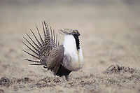 Male Greater Sage-Grouse (Centrocercus urophasianus) displaying on a lek. Sublette County, Wyoming. March.