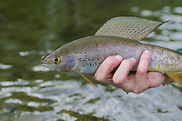 Arctic Grayling caught on a fly, Chena River, Fairbanks, Alaska