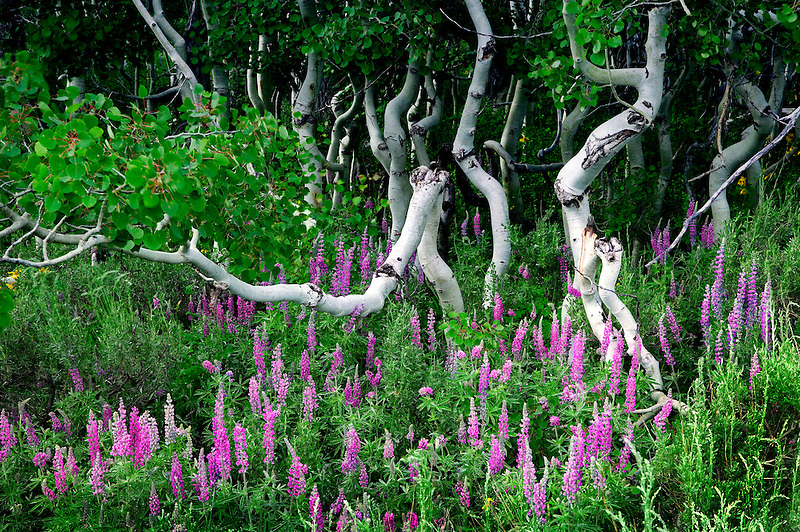 Lupines and small aspens trees. Steens Mountain, Oregon